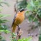 White-browed Robinchat