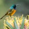 Orange-brested Sunbird