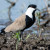 Spurwinged Lapwing