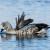 Bluevinged Goose