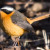White- browed Robin-chat