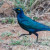 Greater Blueeared Starling