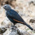 White-billed Starling female