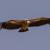 Rüppels vulture
