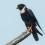 Bat Falcon