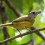 White-shouldered Tanager female