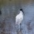 Blackheaded_Ibis