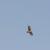 Bonelli´s Eagle