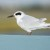 Forster´s Tern