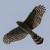 Cooper´s Hawk