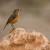 Moussier's Redstart female