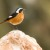 Moussier's Redstart male