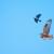 Long-legged Buzzard - Örnvråk