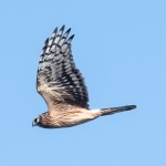 Hen Harrier - Blå kärrhök