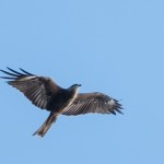 Black Kite - Brun glada