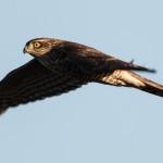 Eurasian Sparrowhawk - Sparvhök