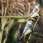 Eurasian Blue Tit - Blåmes