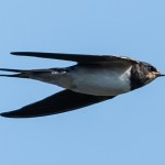 Barn Swallow - Ladusvala