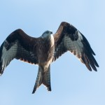 Red Kite - Rödglada