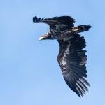 Sea Eagle - Havsörn