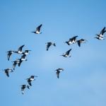 Barnacle goose - Vitkindad gås