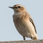 Northern Wheatear - Stenskvätta