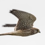 Common Kestrel - Tornfalk