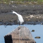 Little Egret - Silkeshäger
