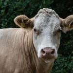 Cow - Ko