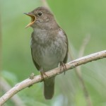 Thrush Nightingale - Näktergal
