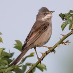 Common  Whitethroat - Törnsångare