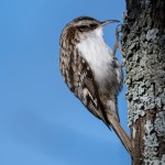 Common Treecreeper - Trädkrypare