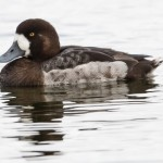Greater Scaup, female - Bergand, hona