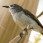 Mangrove Sunbird