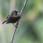 Copper Sunbird