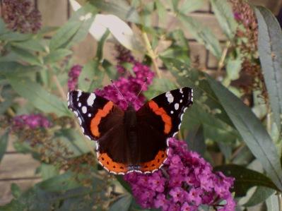 Amiral på Fjärilsbuske