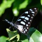 Graphium leonidas Veined swordtail
