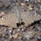 Hamanumida daedalus Guineafowl butterfly
