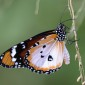 Danaus chrysippus Plain Tiger or African Queen
