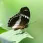 Hypolimnas salmacis - Blue diadem