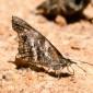Libythea labdaca - African Snout Butterfly
