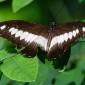 Papilio cynorta - Mimetic Swallowtail