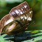 Kallimoides rumia - African Leaf Butterfly