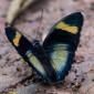 Euphaedra phaetusa - Irridescent Forester