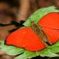 Cymothoe mabillei - Western Red Glider