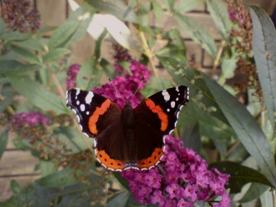 Red Admiral in my garden