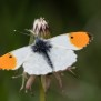 Orange Tip - Aurorafjäril