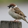 Tree Sparrow - Pilfink
