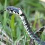 Grass Snake - Snok