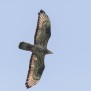 Honey Buzzard - Bivråk vid Hornsjön